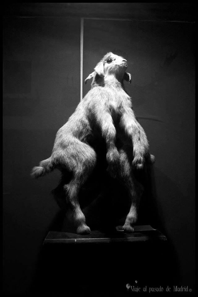 Anomalía morfológica de una cabra
