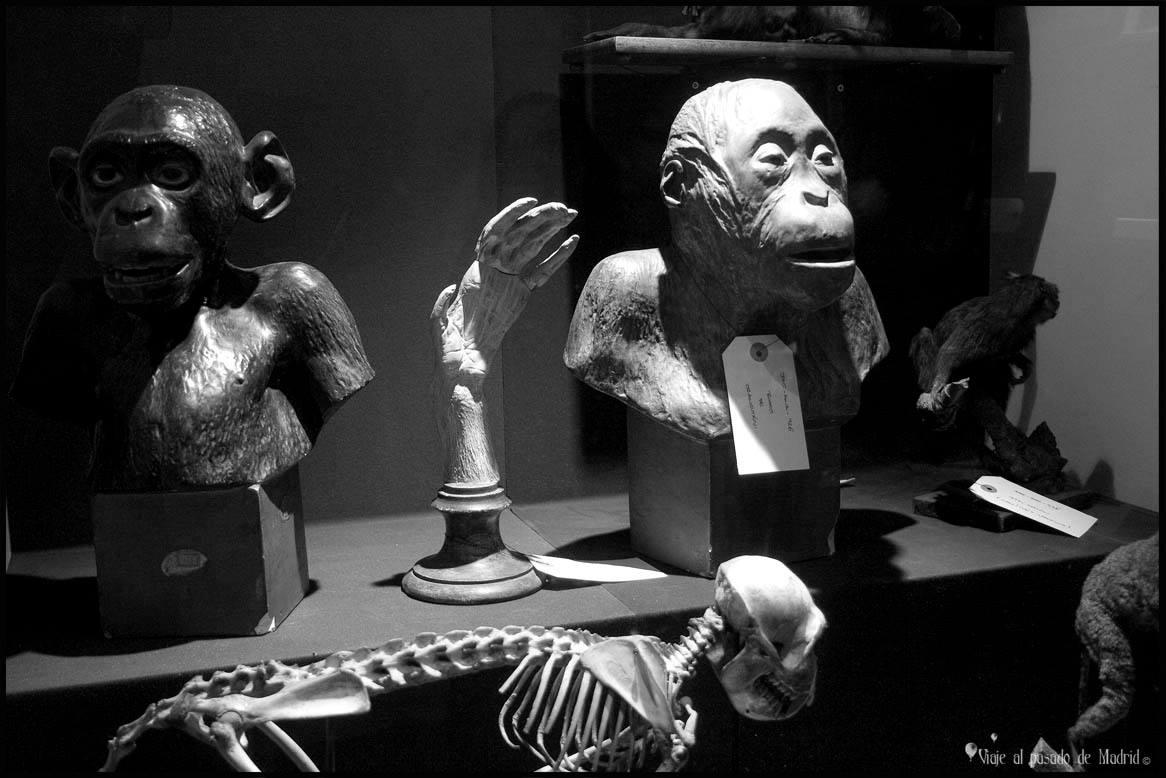 Piezas de la colección de primates